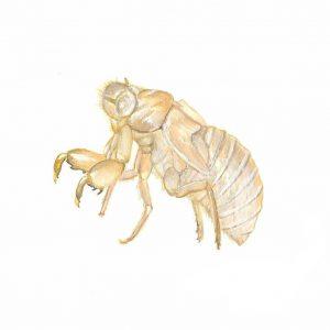 cicadaskin